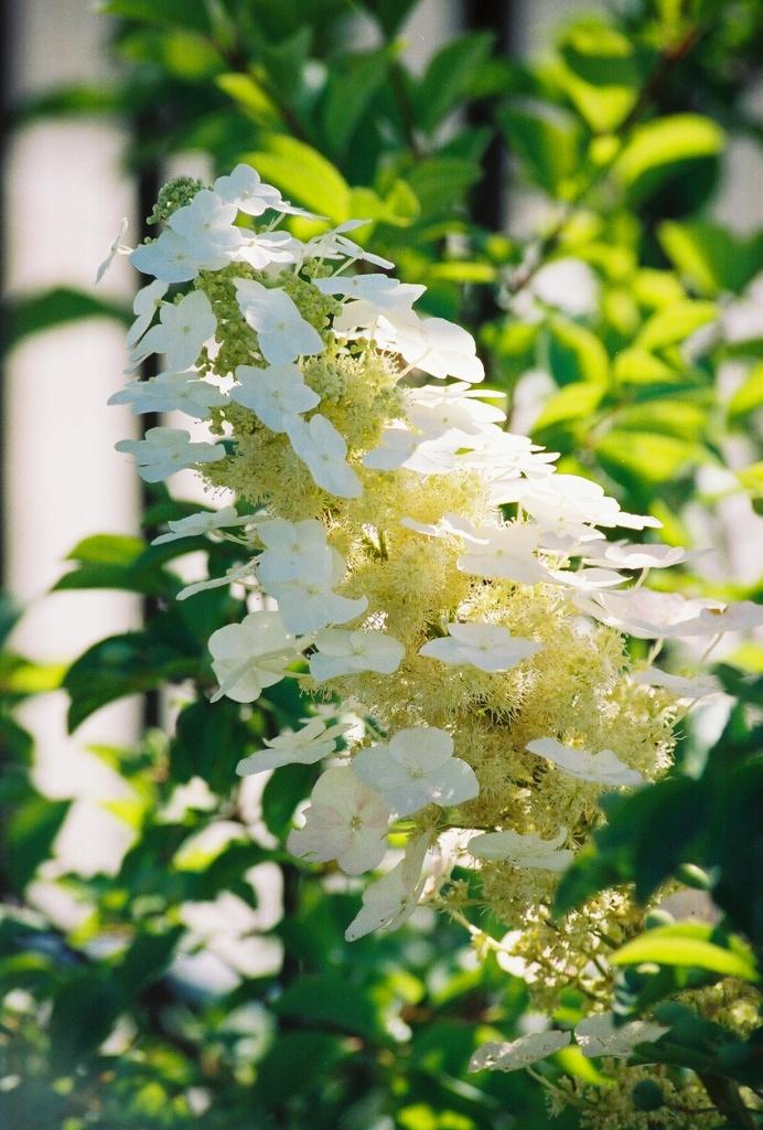 Oakleaf Hydrangea Flower mid-summer