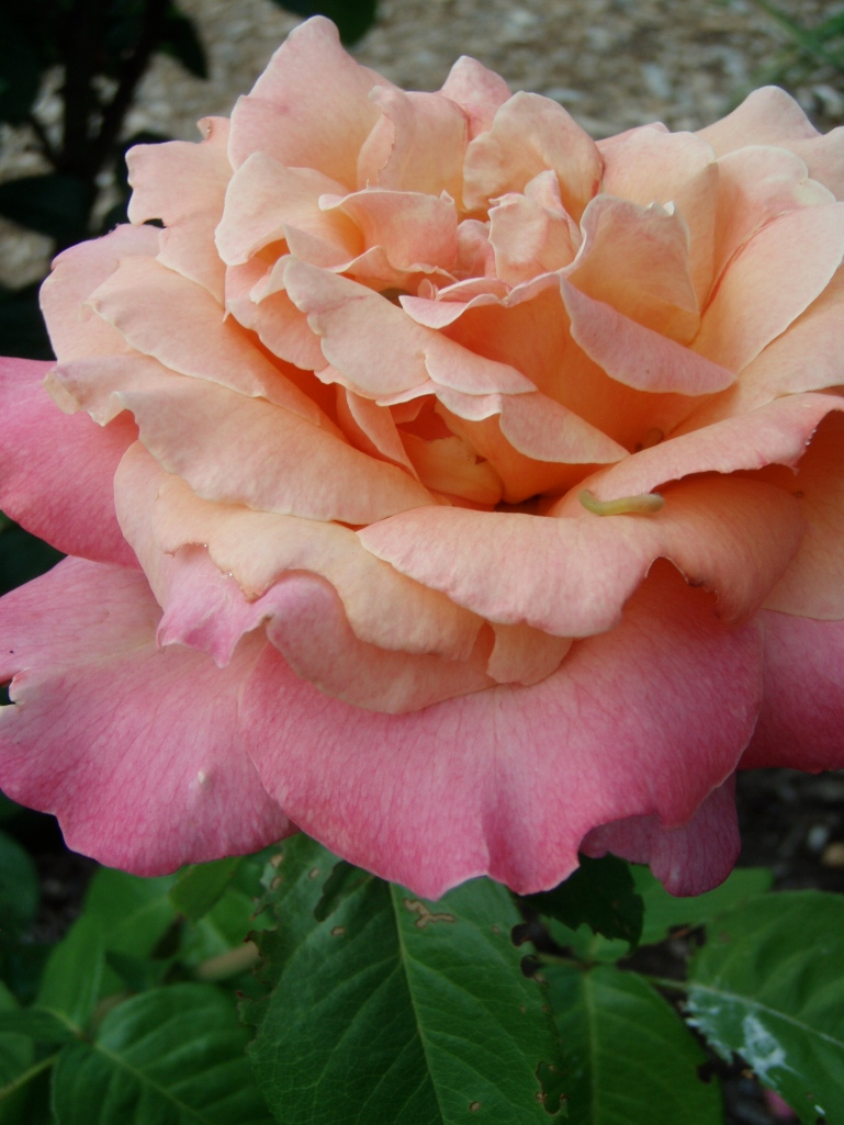 Ornamental Roses like this may have roots of multiflora rose