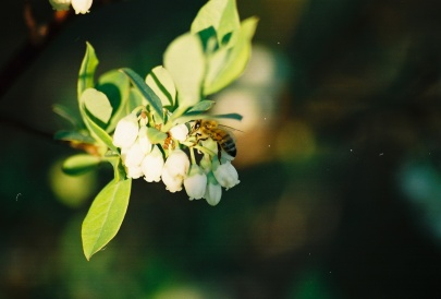 Can't have blueberries without pollinators like this one visiting early spring flowers