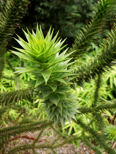 Araucaria araucana, the Monkey Puzzle Tree doing just fine in Brooklyn.
