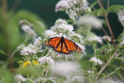 Monarch on Joe Pye Weed