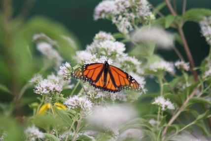 Monarch on Joe Pye Weed