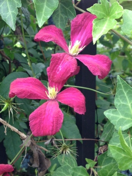 Clematis in the Green Dome