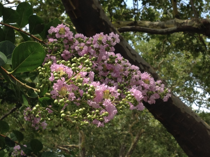 Crape Myrtle thrives in this warm protected location, sporting beautiful blooms and equally impressive bark.