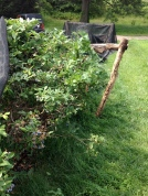 This Highbush Blueberry stands about 5' Tall. Note the supports and netting to keep birds away from the giant berries.