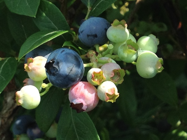 Many Stages of Blueberry Fruit