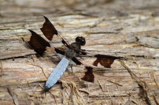 Mosquito eater most welcome in my garden: the Common Whitetail Dragonfly or Long-tailed Skimmer (Plathemis lydia)