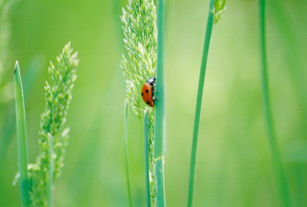 Ahh the Ladybug...Everyone's Favorite carnivorous Beetle