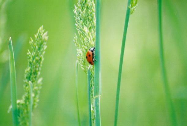 Ahh the Ladybug...Everyone's Favorite carnivorous Beetle