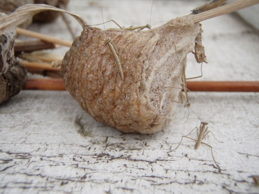 Praying Mantis egg case with young emerging