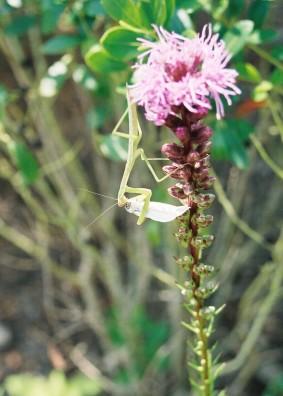 Praying Mantis eating a moth on Liatris spicata