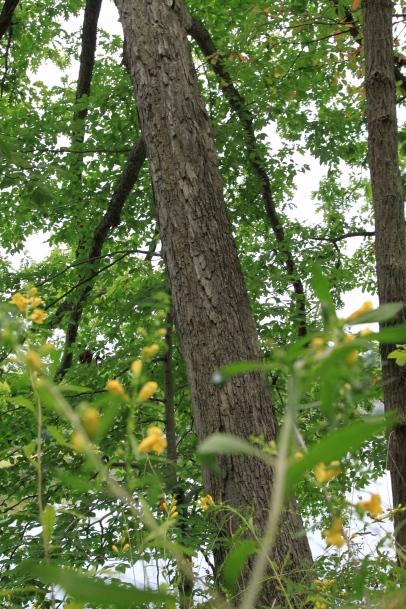 Yellow False Foxglove under White Oak (Quercus alba)
