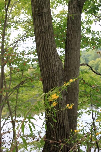 Yellow False Foxglove under Red Oak (Quercus rubra)