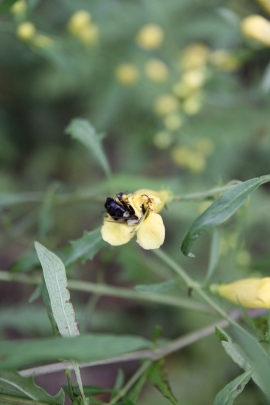 Bee enjoys the late blooms of the Yellow False Foxglove