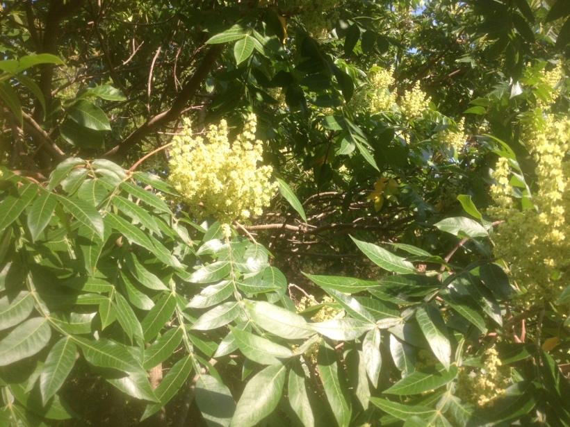 Flowers of Winged Sumac