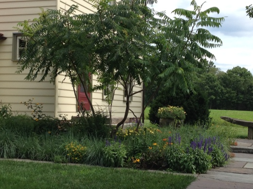 Staghorn Sumac as an accent on the corner of a home