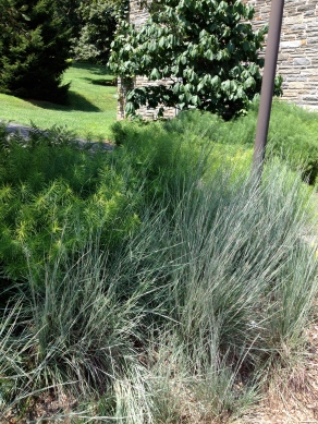 Feathery in different ways - Bluestem Grass and Amsonia