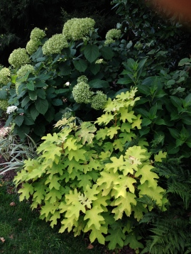 Oakleaf Hydrangea and Smooth Hydrangea