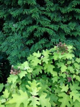 Oakleaf Hydrangea and Western Red Cedar