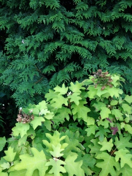 Oakleaf Hydrangea and Western Red Cedar