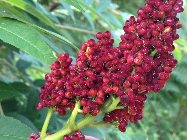 Smooth Sumac Fruit (c) Kathleen V Salisbury