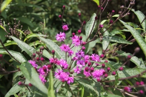Flowers of New York Ironweed