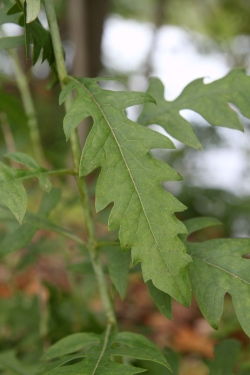 Yellow False Foxglove Leaf