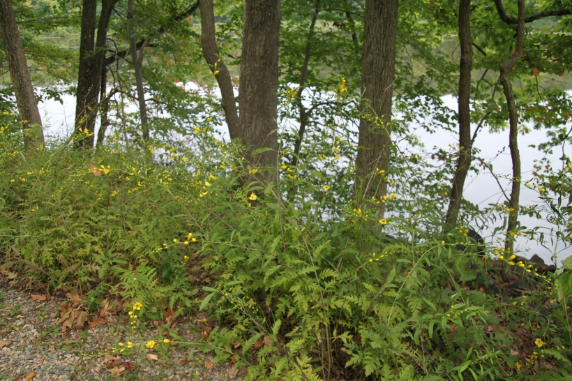 Along the banks of a lake, under red and white oaks, next to a gravelly trail - I found Yellow False Foxglove.