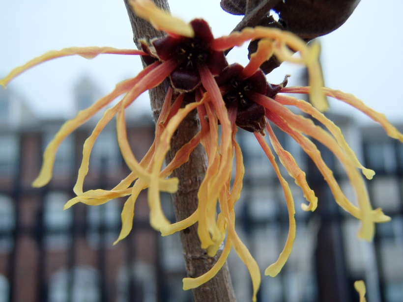 The flower of Jalena Witchhazel