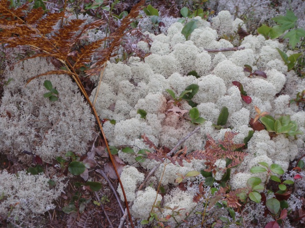 Lichens on a Michigan Forest  Floor
