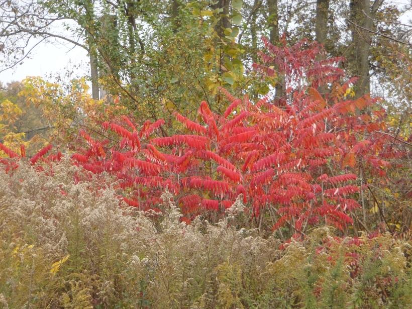 Staghorn Sumac Fall Color (c) Kathleen V Salisbury