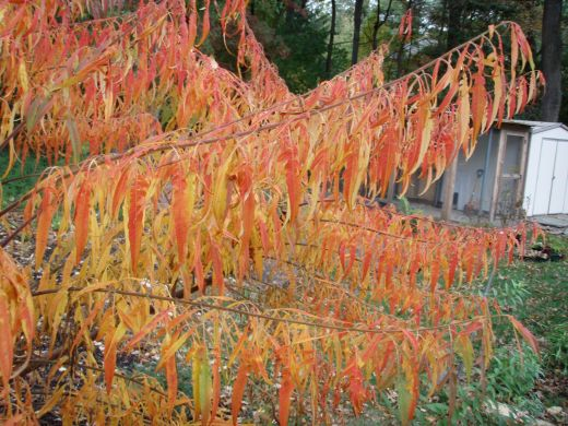 Fall color of cut leaf stag horn sumac leaflets