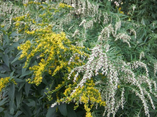 Mugwort and Goldenrod