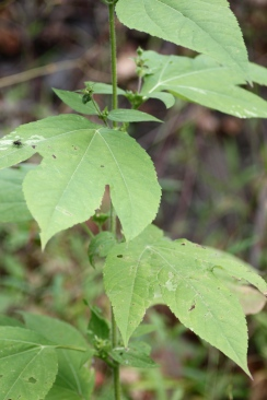 Lobed leaves of Giant Ragweed