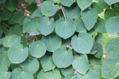 The heart-shaped leaves of Katsura