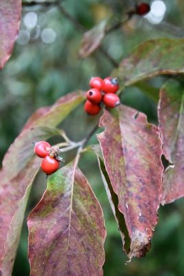 Flowering Dogwood (Cornus florida) fruits and fall color.