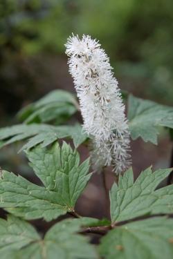 Honey-scented Fall Blooms of Bugbane (Actea racemosa)