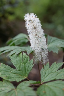 Honey-scented Fall Blooms of Bugbane (Actea racemosa)