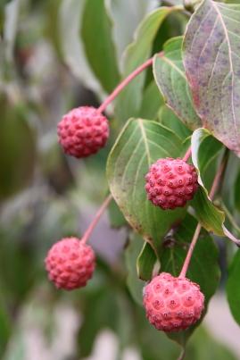 Edible fruits of Kousa Dogwood (Cornus kousa)