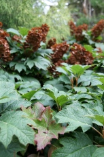 Fall color of Oakleaf Hydrangea just beginning