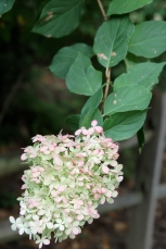 "Hydrangea paniculata blooms showing their fall color or ""antiquing"" as a dear friend described it to me."