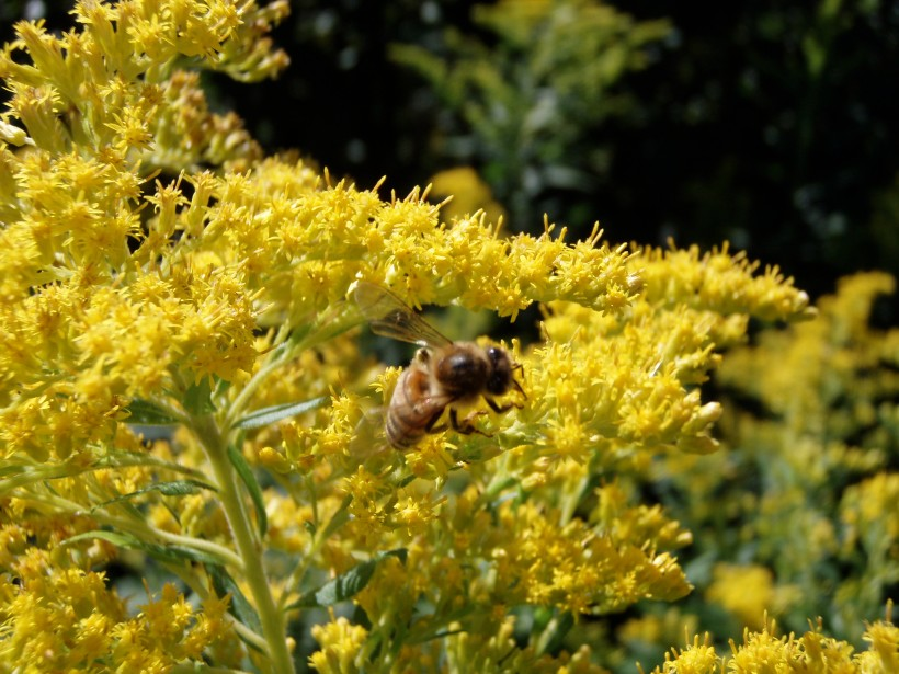 Pollinator on Goldenrod