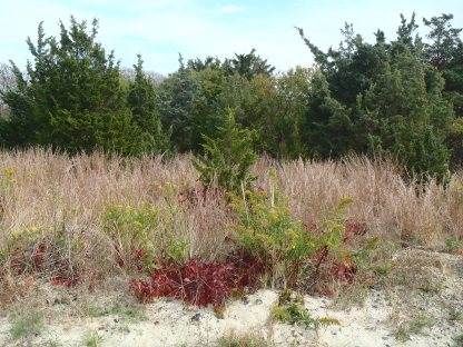 Seaside Goldenrod (Solidago sempervirens) in the Outer Coastal Plain Plant Community at Sandy Hook National Park, NJ Notice the Bright Red fall color of Virginia creeper and the blue foliage of Red Cedar.