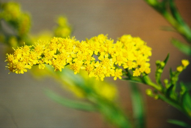Bloom of Seaside Goldenrod (Solidago sempervirens)