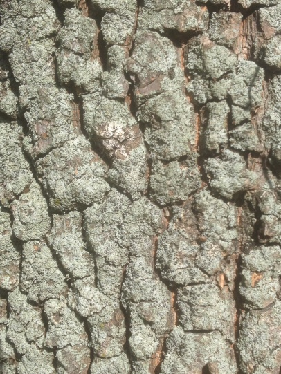 Characteristic blocky bark of the persimmon