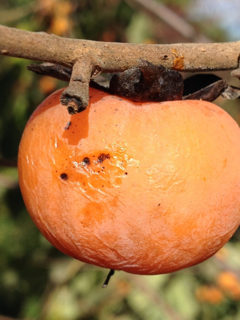 Nearly ripe persimmon fruit