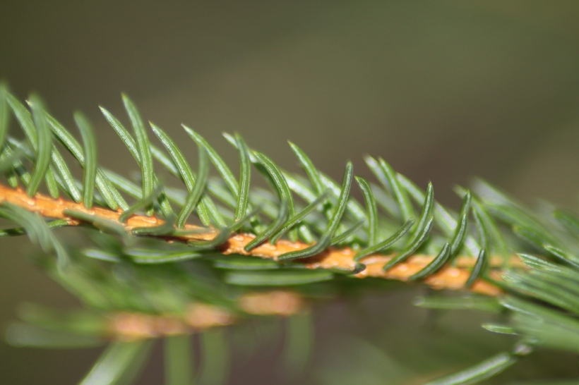 Norway Sprunce (Picea abies)