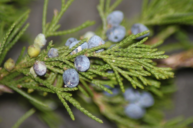 Juniperus virginiana with Berries