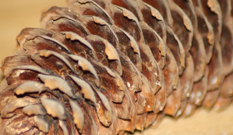 Norway Spruce (Picea abies) Cone