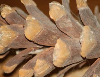 Eastern White Pine (Pinus strobus) Cone